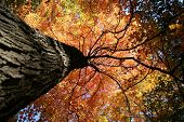 image of fall trees  - Fall Colors in the Forest - JPG