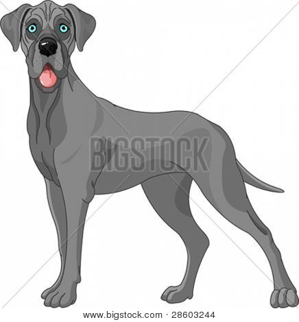 Great Dane dog, standing in front of white background