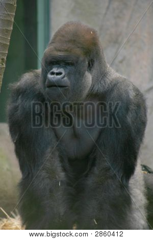 Silver Backed Gorilla