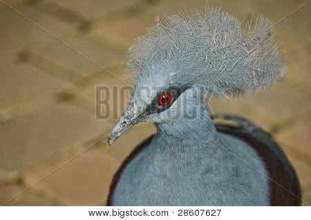 Western Crowned Pidgeon (goura Cristata)