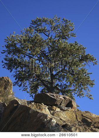 Pinyon Tree