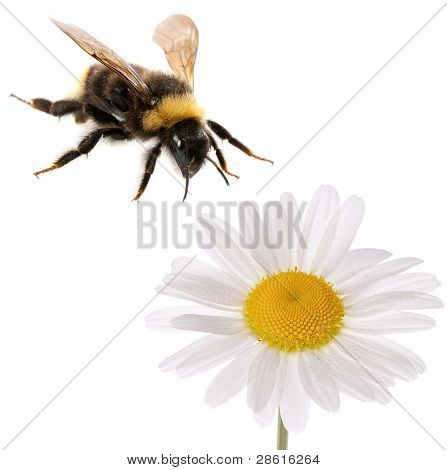 bumblebee and flower isolated on white background