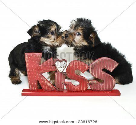 Yorkie Puppies Kissing