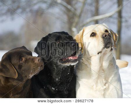 Labrador retriever three color
