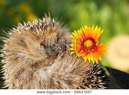 Hedgehog with flower