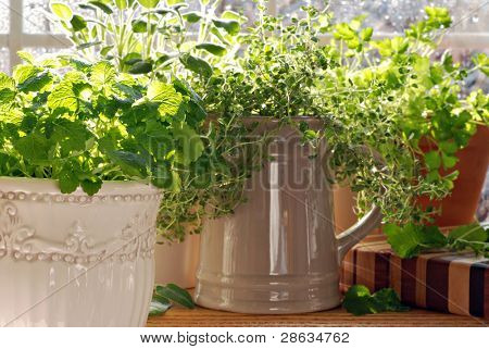 Kitchen herb garden with lemon balm, sage, parsley and thyme potted in decorative canisters and mugs with bright natural backlighting and sunlit raindrops on window pane.  Closeup with shallow dof.