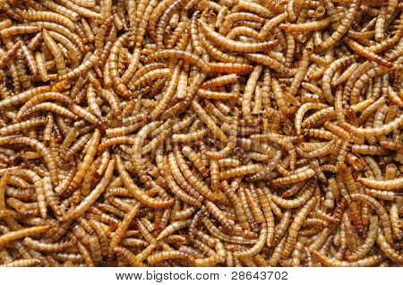 Mealworms Or Larvae