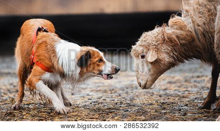 poster of Two Border Collie Dog Red-haired Black And White Grazing Sheep In The Paddock. Raw Dog. Sports Disci