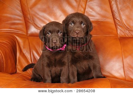 Portrait Of Two Cute Labrador Puppies