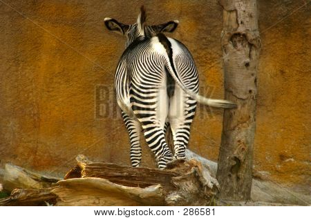 Zebra Bum & Wall
