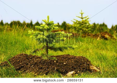 Two Planted Little Fir Trees