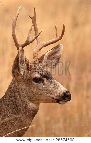 Mule Deer Buck Portrait