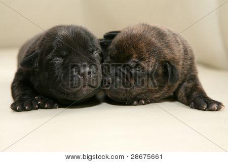 american Stafford terrier puppy