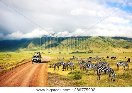 Wild Nature Of Africa Zebras