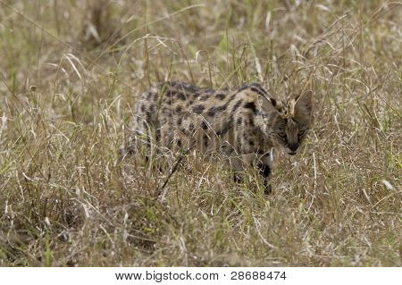 Serval in the long grass of the Masai mara