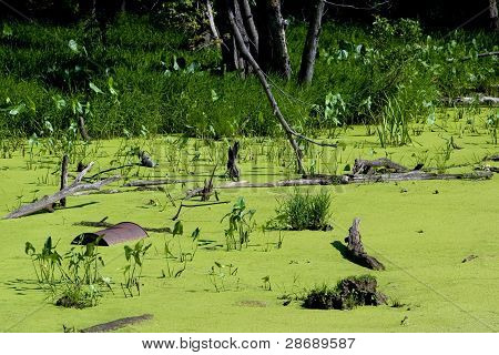 Discarded oil barrel in a swamp