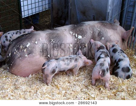 Spotted sow and piglets