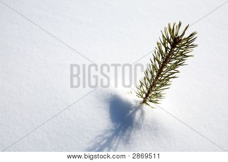 Survival Spruce Tree