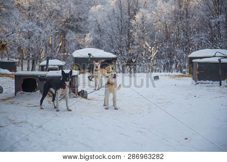 poster of Alaskan Husky Sled Dogs Waiting For A Sled Pulling. Dog Sport In Winter. Dogs Before The Long Distan