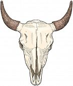 image of cow skeleton  - cow ckull  - JPG
