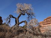 stock photo of cottonwood  - A lone cottonwood tree in a desert canyon - JPG
