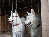 Two Beautiful Huskies In The Enclosure Watching From Behind The Iron Fence Rods poster