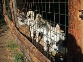 Several Beautiful Huskies In The Enclosure In The Nursery At Sunset poster