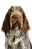 foto of snob  - spinone italiano puppy with serious expression really cute - JPG