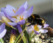 Large Bee On A Large Purple Crocus Flower. poster