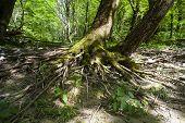 Fresh Leaves Of Stinging Nettles Under The Tree poster