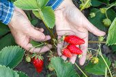 Gardener Is Holding Ripe Strawberries In Hand With Green Leaves On The Background. Top View. Ripe An poster