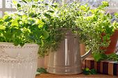 Kitchen herb garden with lemon balm, sage, parsley and thyme potted in decorative canisters and mugs