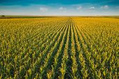Aerial Drone View Of Cultivated Green Corn Field Landscape poster