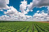 Organic Soybean Crop Landscape With Stunning Clouds Over Horizon In Background poster