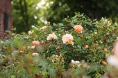 Sunlit, Vanilla Roses On A Flowering Bush. Beautiful Roses Bush In Garden. A Bush Of Pink Pale Roses poster