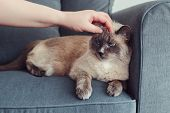 Grumpy Unhappy Colorpoint Blue-eyed Cat Lying On Couch Sofa. Owner Petting Touching Fluffy Domestic  poster