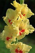 stock photo of gladiola  - Gladiola  - JPG