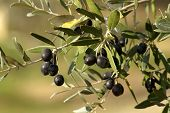 picture of olive branch  - Olive branch in Tuscan landscape in autumn - JPG