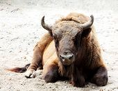 stock photo of aurochs  - Aurochs is on the ground (Bison bonasus)