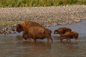 stock photo of lamar  - A pair of American Bison mothers and calves crossing the Lamar River in Yellowstone National Park - JPG