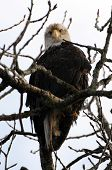 Bald Eagle - Tree