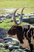stock photo of brahma-bull  - Profile of brahma bull with large horns taken at the Phoenix Zoo in Arizona - JPG