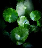 Green Asiatic Leaves Beautiful On Dark Background / Leaf Herb Centella Asiatica Urban Or Asiatic Pen poster