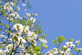 stock photo of dogwood  - White dogwood flower in the blue sky - JPG