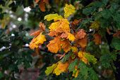 Oak Tree Branch With Green, Yellow And Brown Leaves In Fall. Oak Tree In Autumn Season. Blurred Leaf poster