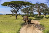 An Adult Elephant And A Baby Elephant Stop On A Dirt Road To Have A Mud Bath With Tall Trees, Nests  poster
