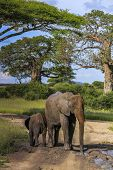 An Adult Elephant Faces Forward While A Baby Elephant Faces Back, Standing In A Dirt Track Puddle Co poster