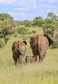 Three Elephants, Of Three Sizes Walking Away Into Wild Grasses. Blue Sky And Bright Green Trees poster