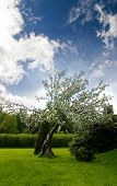 stock photo of apple tree  - An old apple tree with a dramatic sky - JPG