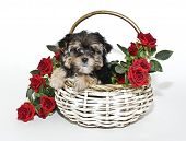 picture of yorkie  - Yorkie  - JPG